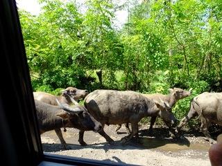 牛渋滞.JPG